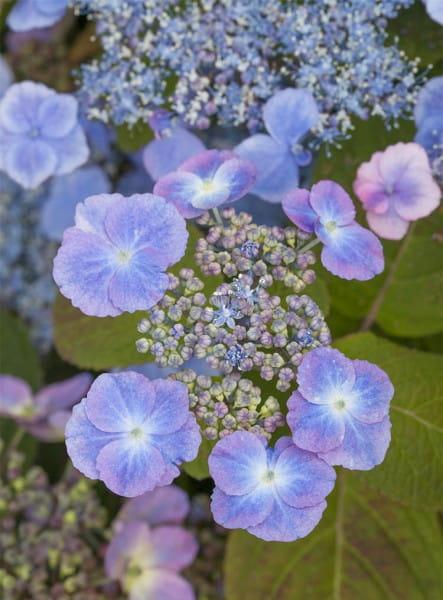 Kleinwüchsige Gartenhortensie Veerle • Hydrangea serrata Veerle