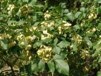 Kleeulme Lederstrauch • Ptelea trifoliata