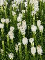 Garten-Prachtscharte • Liatris spicata Floristan Weiß