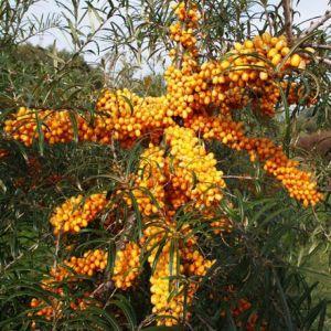 Sanddorn, weiblich, Leikora • Hippophae rhamnoides Leikora