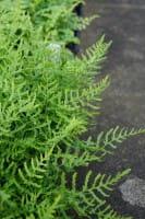 Wurmfarn Linear.Polydactylon • Dryopteris filix-mas Linear.Polydactylon