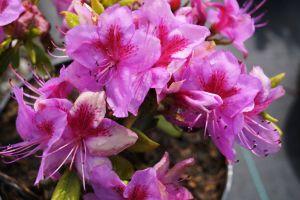 Japanische Azalee Peppina ® • Rhododendron obtusum Peppina ®