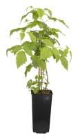 Himbeere Meeker • Rubus idaeus Meeker