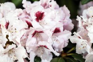 Rhododendron Annika • Rhododendron yakushimanum Annika