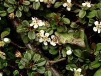 Zwergmispel • Cotoneaster procumbens Queen of carpets