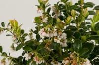 Preiselbeere • Vaccinium vitis-idaea