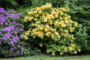 Rhododendron Goldpracht • Rhododendron luteum Goldpracht