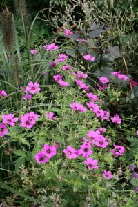 Garten Storchschnabel Patricia • Geranium psilostemon Patricia