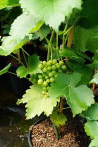 Tafeltraube Seyval Blanc • Vitis Seyval Blanc