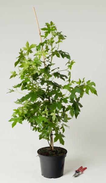 Amerikanischer Amberbaum • Liquidambar styraciflua