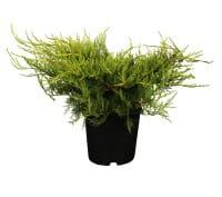 Gelber Pracht-Wacholder • Juniperus media Old Gold
