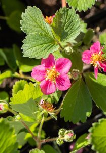 Zier-Erdbeere • Fragaria x ananassa Red Ruby