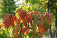 Blumen-Hartriegel Stellar Pink • Cornus rutgersensis Stellar Pink