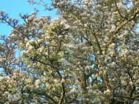 Wildbirne • Pyrus communis