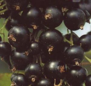 Jostabeere • Ribes Jostabeere