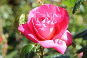 Kletterrose Shogun • Rosa Shogun