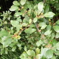 Faulbaum • Rhamnus frangula