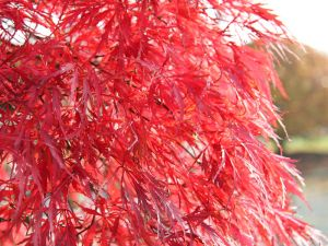 Fächerahorn Inaba-shidare • Acer palmatum Inaba-shidare