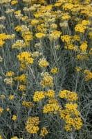 Garten-Currykraut Tall • Helichrysum italicum Tall