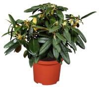 Rose Escimo® • Rhododendron yakushimanum Kalinka