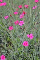 Garten Heidenelke • Dianthus deltoides Leuchtfunk