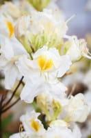 Rhododendron Schneegold • Rhododendron luteum Schneegold
