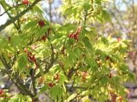 Fächerahorn Mikawa yatsubusa • Acer palmatum Mikawa yatsubusa