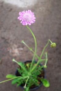 Garten-Tauben-Skabiose Pink Mist • Scabosia columbaria Pink Mist