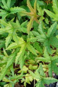 Garten Mädesüß • Filipendula rubra Venusta