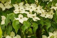 Chinesischer Blumenhartriegel Claudia • Cornus kousa chinensis Claudia