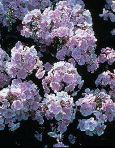 Große Garten-Flammenblume Franz Schubert • Phlox paniculata Franz Schubert