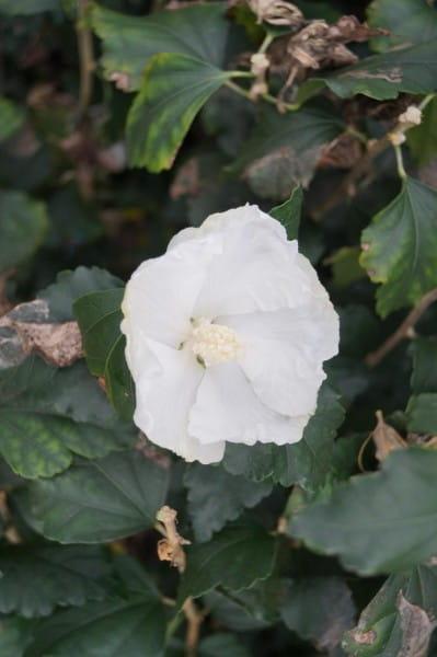 Garteneibisch Totus Albus • Hibiscus Totus Albus