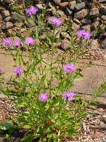 Skabiosen Flockenblume • Centaurea scabiosa