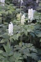 Garten September Silberkerze • Cimicifuga ramosa