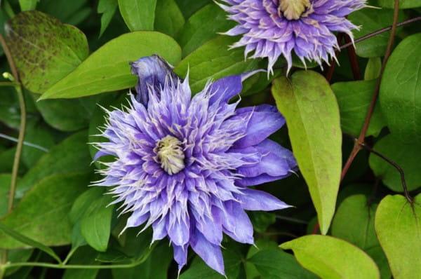 Waldrebe Multi Blue • Clematis Hybriden Multi Blue