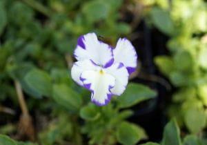 Garten-Stiefmütterchen Rebecca • Viola cornuta Rebecca
