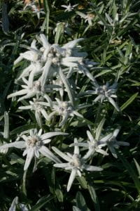 Alpen-Edelweiß • Leontopodium alpinum