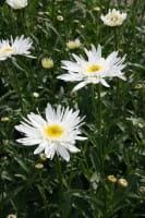 Garten-Margerite Christine Hagemann • Leucanthemum x superb. Christine Hagemann