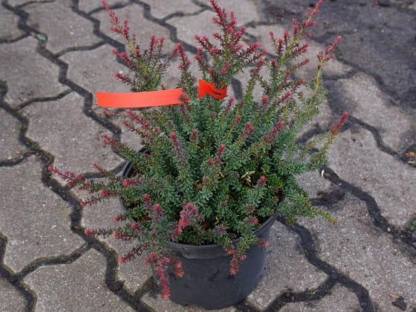 Steineibe • Podocarpus nivalis Red Tip