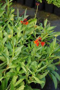 Garten-Sonnenbraut • Helenium-Hyb. Moerheim Beauty