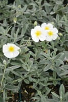 Garten-Sonnenröschen Snow Queen • Helianthemum x cult. Snow Queen