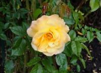 Strauchrose Moonlight ® • Rosa Moonlight ®