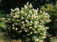 Rispenhortensie Tardiva • Hydrangea paniculata Tardiva