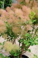 Perückenstrauch • Cotinus coggygria