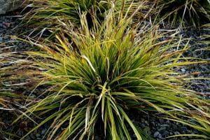 Japanische Segge • Carex morrowii