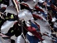 Schwarzrote Hängebuche • Fagus sylvatica Purpurea Pendula