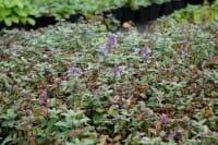 Großblütige Garten-Katzenminze Bramdean • Nepeta grandiflora Bramdean