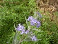 Bartblume Heavenly Blue • Caryopteris clandonensis Heavenly Blue