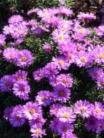 Garten Kissen Aster • Aster dumosus Rosenwichtel