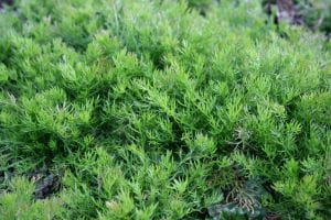 Garten Scheinkamille • Chamaemelum nobile Treneague
